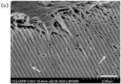 Cell adhesions on 3-D sharp-tip nanotopography5,6. The SEM images of fibroblast cells