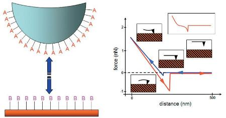 The AFM tip is extended toward and then retracted from the surface as the deflection of the cantilever is monitored as a function of distance. The retraction part of the curve (in red) will show any adhesion force between the tip and the sample. In molecular recognition force measurements, ligand molecules (A) are attached to the AFM tip, whereas receptor molecules (B) are present on the sample surface. Use of a linker molecule (e.g. PEG) results in a characteristic curved unbinding peak as the linker stretches, enabling easier identification of specific unbinding interactions between A and B (see representative curve in inset).