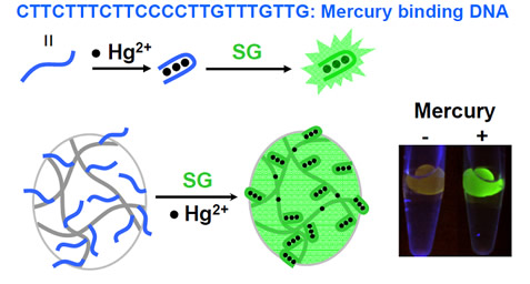A DNA-based biosensor immobilized on a hydrogel for mercury detection where SG becomes highly fluorescent upon binding to the double-stranded region in the DNA.