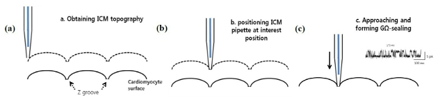 Illustration of the operational steps for targeted patch clamping: (a) Park ICM acquires the topography of the cardiomycyte cell surface. (b) The nano-pipette is position