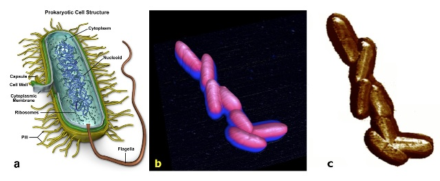 E. Coli K12 bacteria imaged by PeakForce QNM on a BioScope Catalyst AFM. In a, the structure of the strain is drawn. In b, an AFM 10x10μm 3D-height representation of a cluster of bacteria is shown. In c, Young's modulus channel (z-scale: 0-4GPa) is depicted. This is the first time that such bacteria has been imaged alive by AFM.