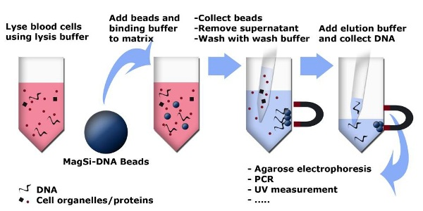 dna whereas article beads magnetic extraction imageforarticle highest with genomic applications capture need complex in manual silica highly response strong