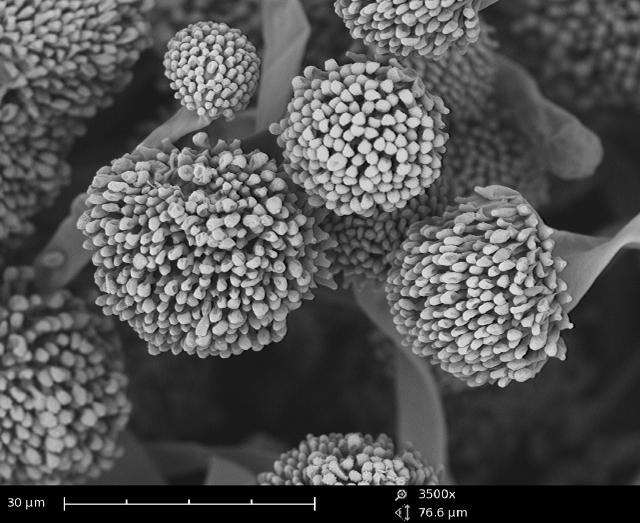 Coffee mold imaged with the Phenom SEM