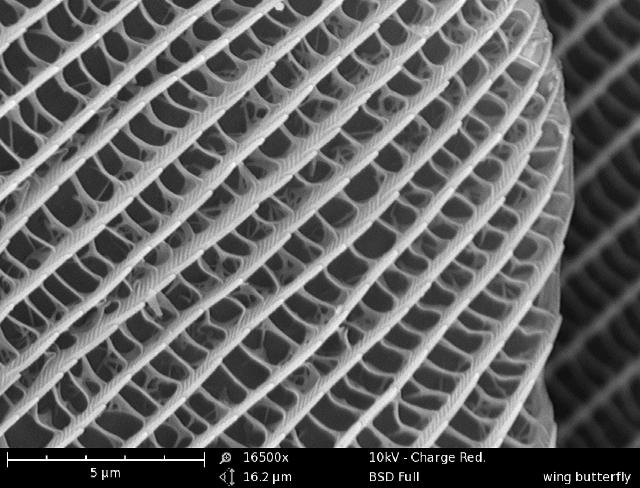 A butterfly wing imaged with the Phenom SEM