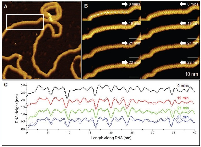 (A) Low-magnification AFM topography image of a plasmid showing corrugation. (B) Higher-magnification trace (white arrow to right) and retrace (white arrow to left) images of this area showing corrugation consistent with the B form of DNA. (C) Trace (solid) and retrace (dashed) height profiles taken along straight lines as indicated in B, closely following the backbone of the four plasmid scans and averaged over a 5-pixel (~0.5) width.