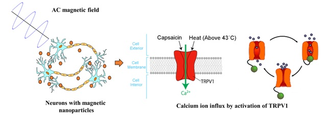 Calcium ion influx in neurons by magnetic nanoparticles nano actuation. Neurons are excited by activating heat-sensitive capsaicin receptors (TRPV1) using an external AC magnetic field.