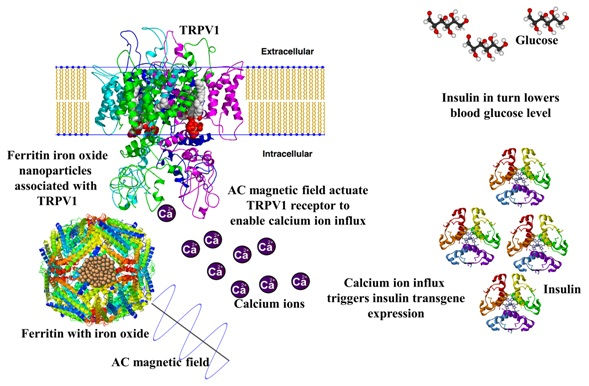 AC magnetic field exposure of ferritin nanoparticles dissipate heat, which triggers calcium ion influx facilitated by TRPV1 activation. Calcium ion influx initiate transgene expression of insulin which in turn lowered blood glucose level.