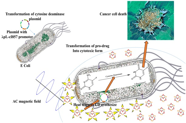 Localised heat dissipation by iron oxide nanoparticles when exposure to AC magnetic field led to remote triggering of cytosine deaminase expression, this in turn improve conversion of 5-fluorocytosine into 5-fluorouracil. 5-fluorouracil kills cancer cells.