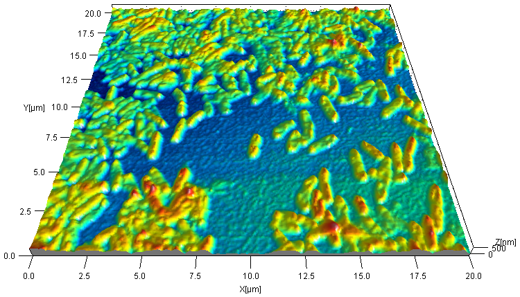 Dynamic mode AFM image of untreated electrogenic bacteria Geobacter sulfurreducens electrochemically deposited on gold substrate. Image processing: SPIP.