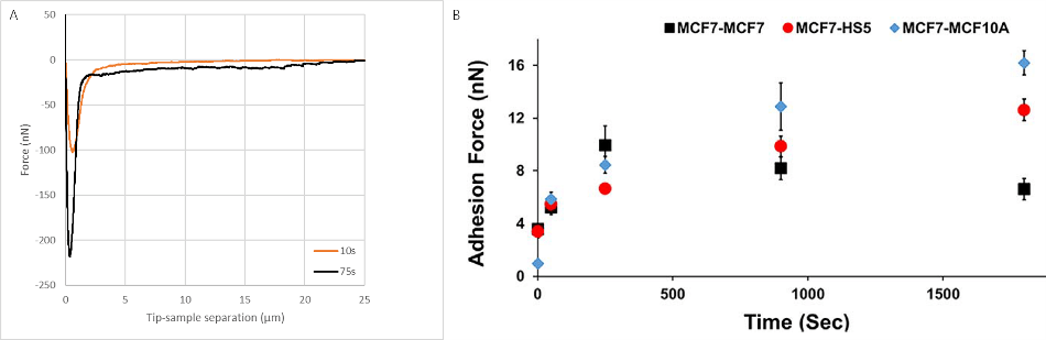 A) Typical force spectra between a MCF7 cell aspired to the cantilever and a non-cancerous, fibroblast (HS5) on the substrate at different contact times. B) Development of the force with contact time between the cells. Data courtesy of Tanya Konry group, Northeastern University, Boston USA.