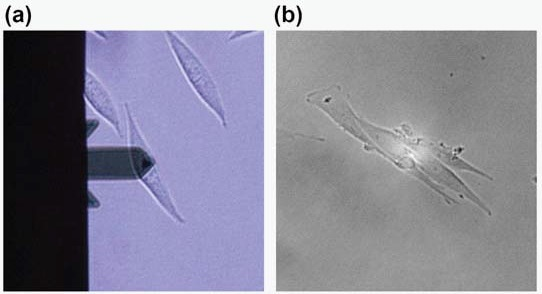 Optical images of L929 cell for AFM (a) and SICM (b). Each probe was positioned at the apex of the single cell.