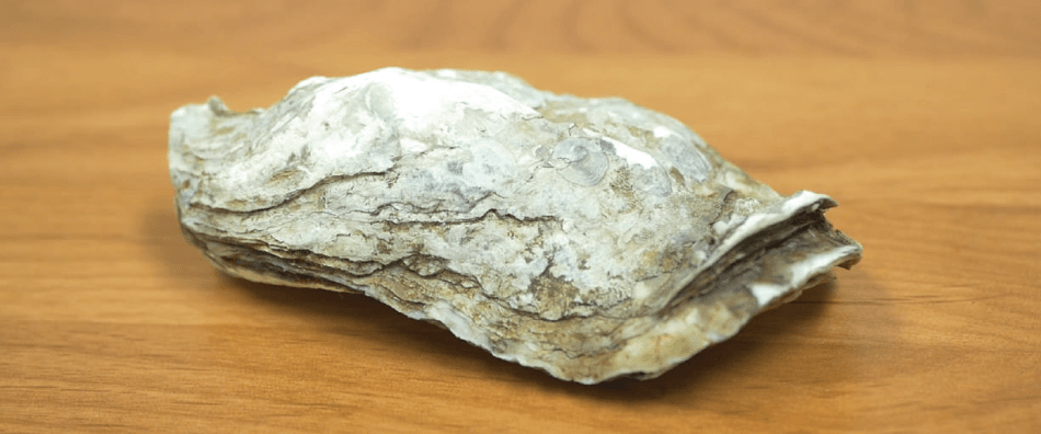 Sample of Oyster Shell Tested