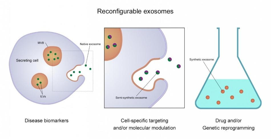 Exosomes Offer Enormous Potential as a Basis for Detecting and Treating Disease
