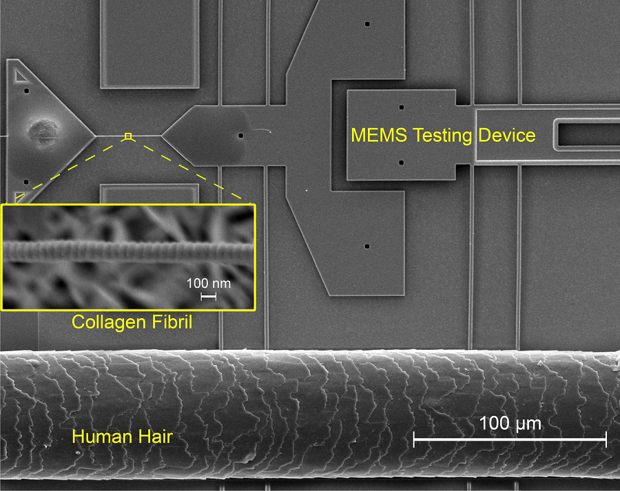 New Study Offers Interesting and Unforeseen Findings on Collagen Fibrils