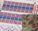 Freiburg-Based Research Group Develops Microfluidic Chip for Adipose Analysis