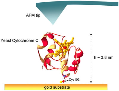 AZoNano – Online Journal of Nanotechnology - Graphic representation showing Yeast Cytochrome c adsorbed on a gold substrate via the sulfur atom of Cys102 residue.