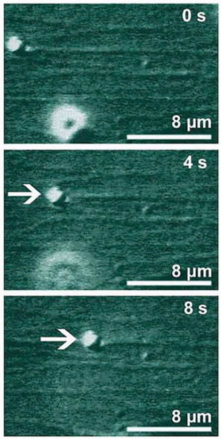 AZoNano, Nanotechnology - This figure contains three snapshots showing the transport of a micrometer bead (white arrow) at 0, 4, and 8 seconds. The bead is pulled by molecular motors, which are too small to be visible, along parallel filaments, which are immobilized on a substrate surface. All filaments are aligned in such a way that their 'plus' ends point to the right and form a multi-lane highway in the nanoregime. The bead moves about 8 micrometers in 8 seconds; during this time, each motor makes about 800 steps.